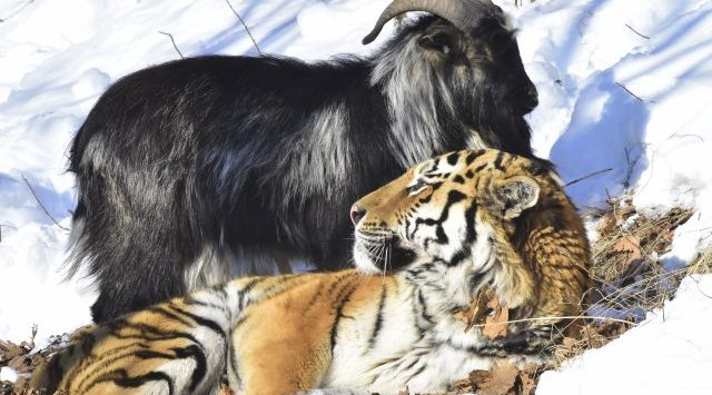 Козел и тигр Амур и Тимур - символ Владивостока